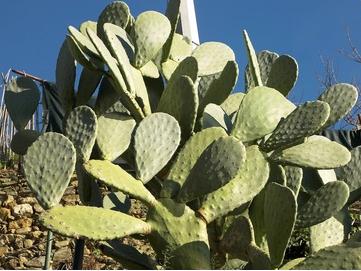 Optunia Cactus